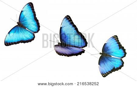 A collage of isolated flying bright opalescent blue morpho butterflies, Morpho helenor marinita. The butterflies are flying one by one on white background.  r