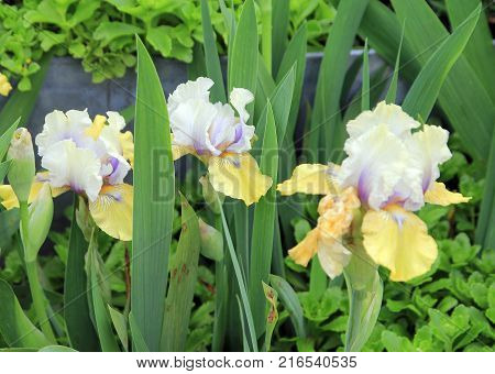 Three Irises on the flower bed in the garden