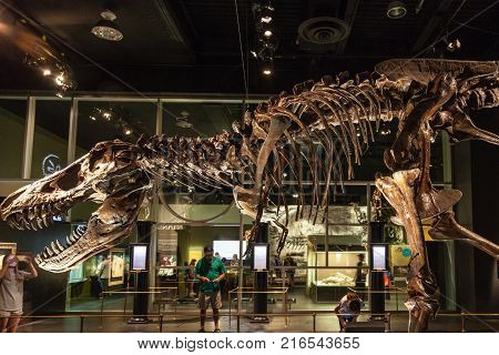 DRUMHELLER CANADA - JUNE 15 2013: Exhibit of a T-Rex skeleton at the Royal Tyrrell Museum in Drumheller Canada. The museum is renowned for its palaeontology research and 130000 fossil remains.