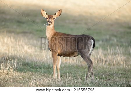 Cautious Black-tailed Deer Interrupted Eating. Santa Clara County, California, USA.