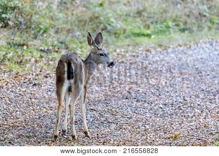 Black-tailed Deer In Alert. Santa Clara County, California, USA.