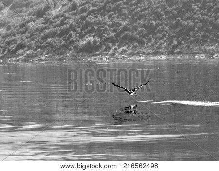 Bird about to land on water surface, lake Skadar in Montenegro