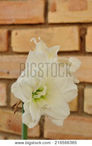 A white amaryllis isolated against a brick wall