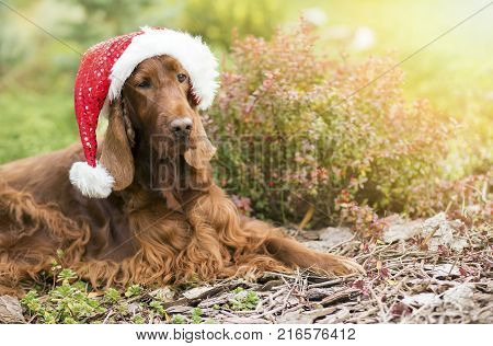 Christmas Irish Setter dog with Santa Claus hat - greeting card banner idea