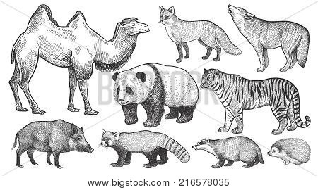 Realistic animals set. Camel panda fox wolf tiger boar red panda hedgehog and badger isolated on white background. Vector illustration art. Vintage engraving. Handmade graphic. Black and white.