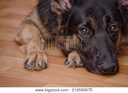 Sad dog lying on the floor and waiting (selective focus on the dog eyes) as the Missing You concept