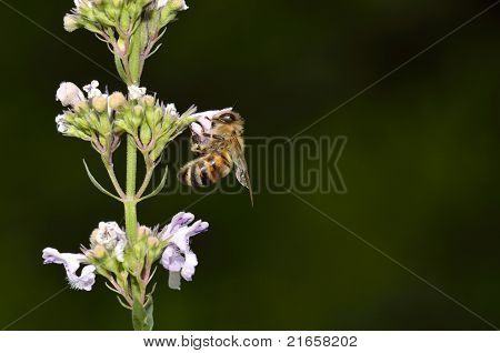 Honeybee Collecting Pollen From Flower