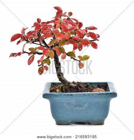 Small bonsai Cotoneaster integerrimus in blue ceramic pot isolated on white background. Bonsai with autumn leaves. Copy space