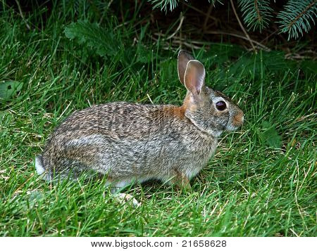 Eastern Cottontail Rabbit (Sylvilagus floridanus) in a grass lawn in Illinois. poster