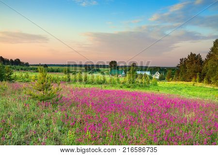 summer rural landscape with a blossoming meadow and a farm. spring wild flowers on a field. purple flowers on a meadow and sunset. flowering field wildflowers and farmhouse on sunrise.