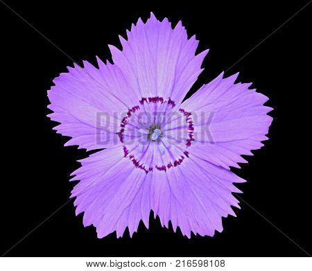 A close up of the flower wild pink (Dianthus chinensis). Isolated on black.