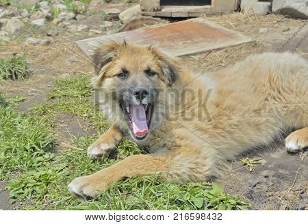 A close up of the yellow yawning dog.