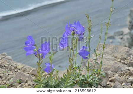 The blue flowers (Platycodon grandiflorus) on rocks at sea.