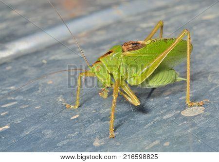A close up of the grasshopper male.