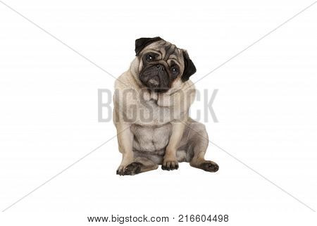 cute smart pug puppy dog with cheecky face sitting down isolated on white background