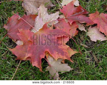 Fallen Red Leaves With Raindrops