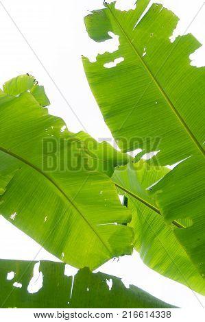 Banana banana leaves eat worms.banana leaf worm in the net .