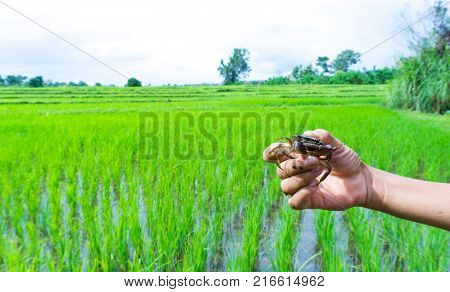 Catch Somanniathelphusa in the field.Right hand holds rice field crab or freshwater crab and tipped over for see many crab balls