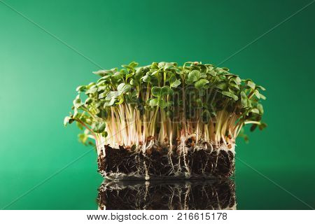 Fresh micro greens isolated at green background reflecting in glass table. Growing redish sprouts for healthy salad. Eating right, stay young and modern restaurant cuisine concept