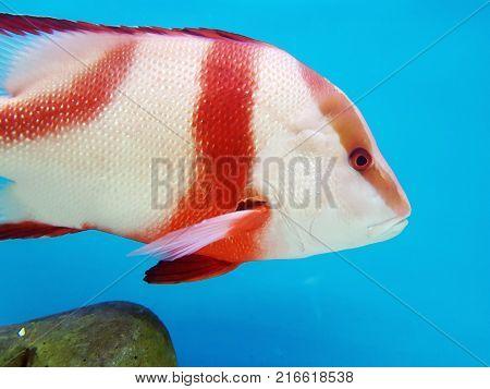 A Colorful Fish In An Aquarium In Dark Blue Water