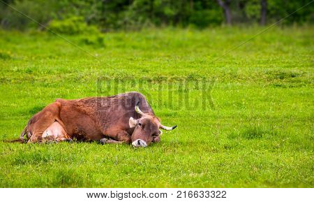 Brown Cow Rests On A Grassy Meadow