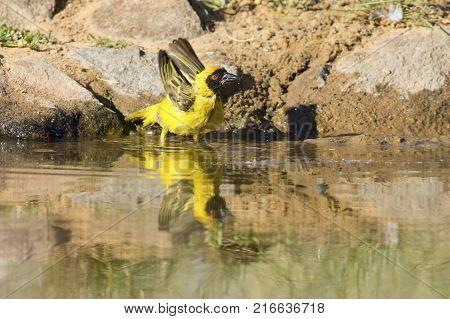 Southern Masked Weaver male having a bath in a waterhole in the Kalahari desert