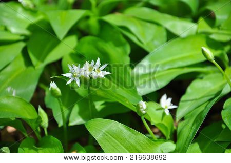 Wild garlic or bear garlic in bloom in forest in spring. Ramson field under a mountain