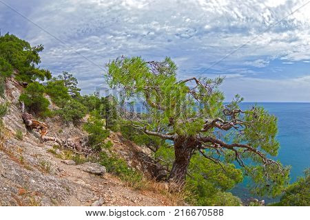 Relict pine at the mountain path. Sunny summer day. Crimea.