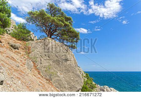Relict pine on a steep rocky shore above the sea. Crimea