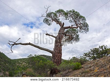 Silhouette of relict pine on a background of clouds. Crimea