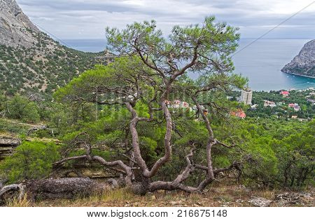 A large relic pine with a bizarrely curved trunk on the mountainside above the sea bay. Crimea.