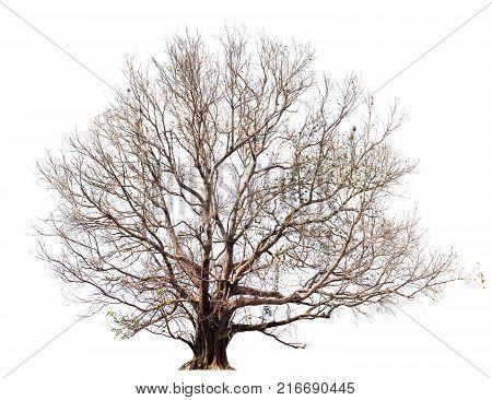 Dry tree without large leavesBodhi Tree on white.Tree isolated botanical Tree.