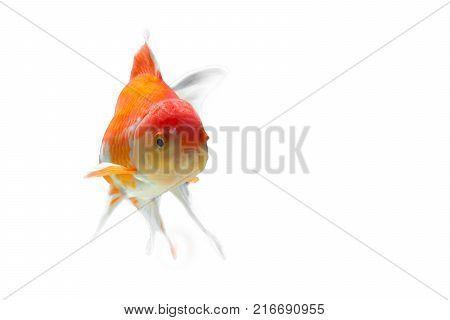 Goldfish on a white backdrop.Goldfish on a white backdrop