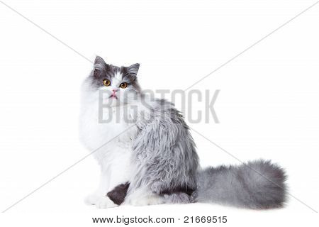 Portrait of young beautiful licking gray and white persian cat sitting on isolated background poster