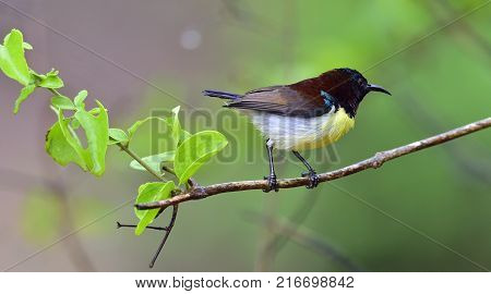 The purple-rumped sunbird (Leptocoma zeylonica) is a sunbird endemic to the Indian Subcontinent. Male. Yala National Park. Sri Lanka.