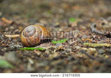 Snail on the floor in the forest. Burgundy snail, Helix, Roman snail, edible snail or escargot.