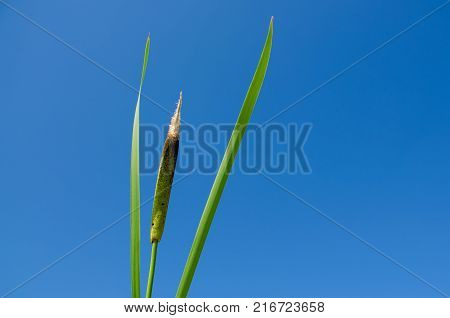 Cattail Against The Blue Sky With Small Clouds On A Sunny Summer Day