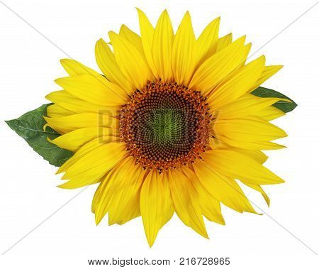 Single beautiful sunflower with leaves isolated on a white background. Nice flower for packing of sunflower oil sunflower seeds or halvah.