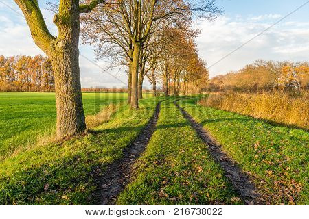 Curved dirt road with two vehicle traces between a row of partially bare trees and on the other hand yellowed reed plants. It is autumn in the Netherlands.