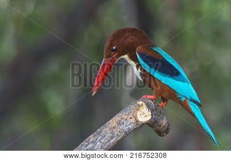 Beautiful brown bird White-throated Kingfisher Halcyon smyrnensis on the stump bird of Thailand.