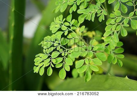 Moringa Oleifera known as the drum stick tree is an amazing tree, almost all its parts can be used as food or medicine, especially the leaves.