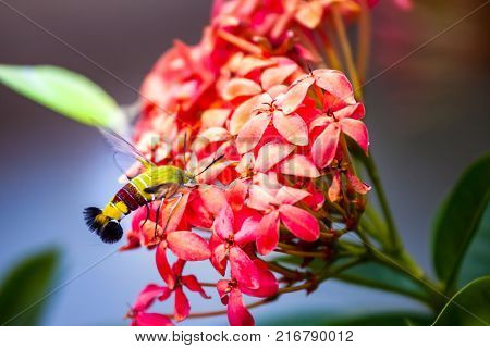 Hummingbird hawk-moth hovering over and sucking nectar at Ixora flowers poster