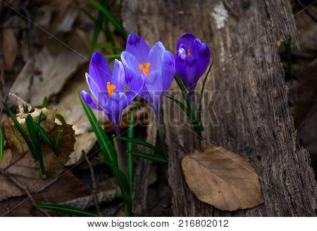 Purple Crocus Flowers In Forest