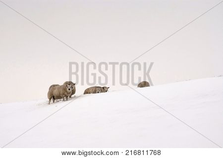 Sheep on a dike in a misty and snowcovered landscape near Dordrecht