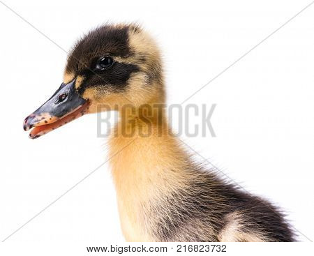 Close up portrait of cute little newborn duckling isolated on white background. Newly hatched duckling on a chicken farm.
