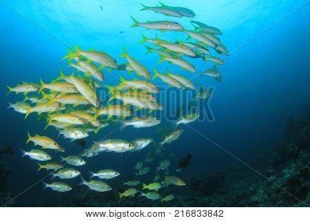 School of fish: Yellowfin Goatfish poster