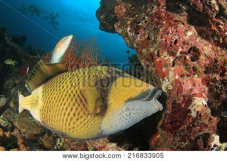 Titan Triggerfish fish eats coral