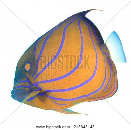 Bluering Angelfish fish isolated on white background