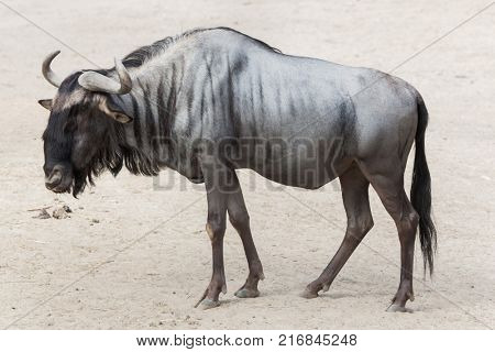 Blue wildebeest (Connochaetes taurinus), also known as the brindled gnu.
