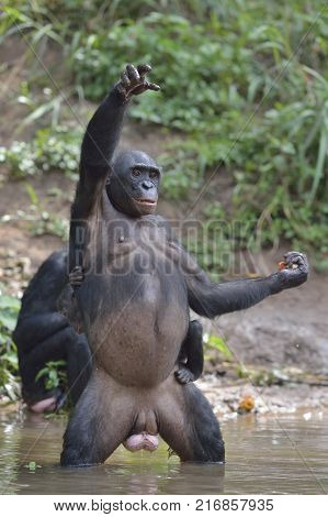 Bonobos. Bonobo standing on her legs with a cub on a back and hand up. The Bonobo ( Pan paniscus). Democratic Republic of Congo. Africa